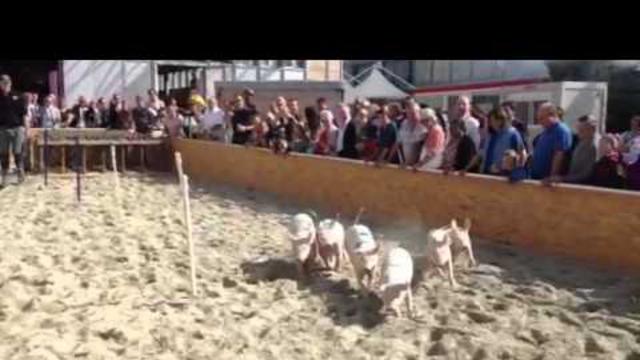 Course de cochons comptoire Suisse 2012